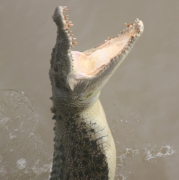 Jumping croc on Adelaide River
