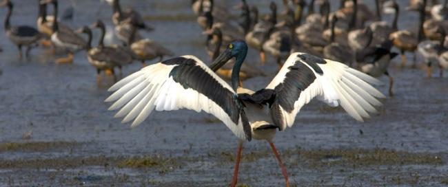 Jabiru and magpie geese on wetlands in Kakadu National Park